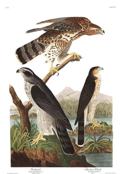 Predator Painting - Goshawk by John James Audubon