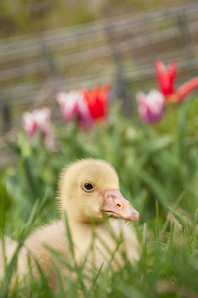 Goslings Wall Art - Photograph - Gosling And Flowers by Elizabeth Gray
