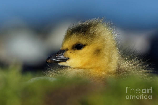 Photograph - Gosling Delight by Sue Harper