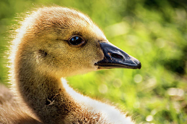 Photograph - Gosling by Don Johnson