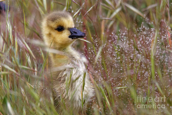 Gosling In The Meadow Art Print