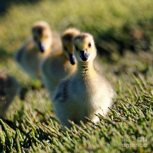Photograph - Gosling March by Sue Harper