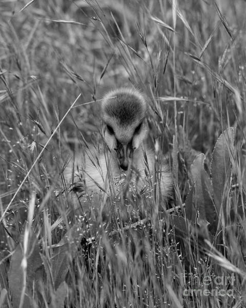 Photograph - Gosling Serenity by Sue Harper