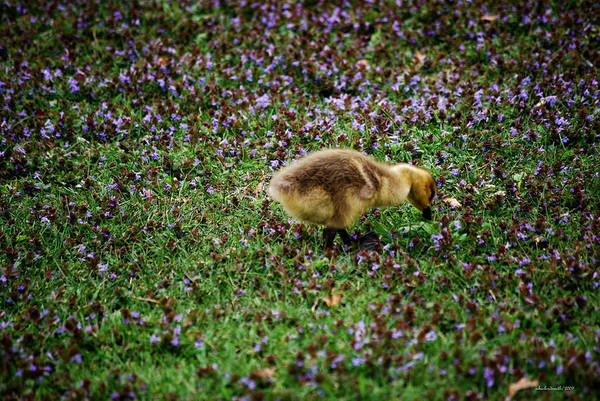 Gosling Photograph - Gosling Series - Hide And Seek by Michelle  BarlondSmith