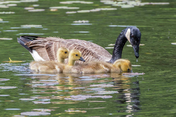 Photograph - Goslings by Bill Wakeley