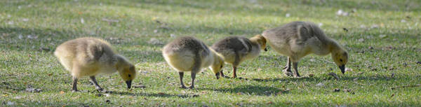Wall Art - Photograph - Goslings In A Row by Whispering Peaks Photography