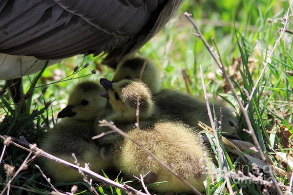 Goslings Wall Art - Photograph - Gosling's In The Shade by Jeff Swan