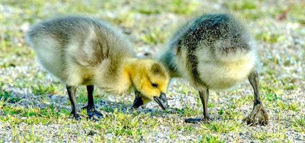 Photograph - Goslings Snacking by Steven Santamour