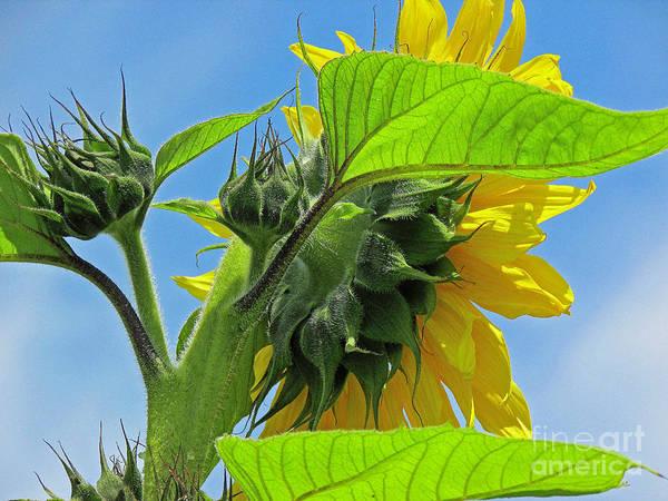 Photograph - Gospel Flat Sunflower #2 by Joyce Creswell