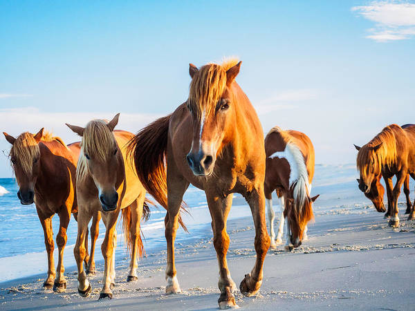 Photograph - Assateague Wild Ponies by Louis Dallara