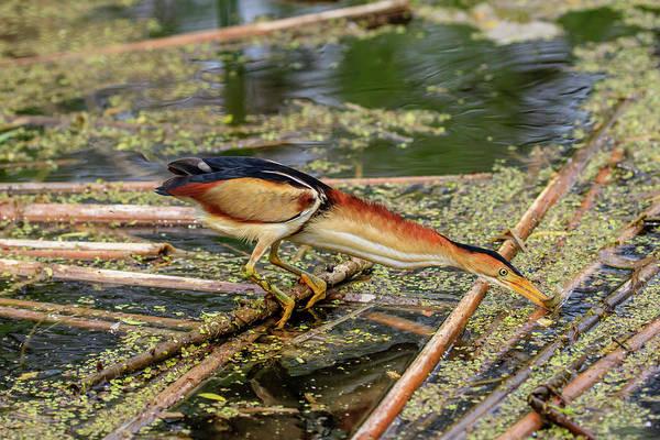 Ixobrychus Photograph - Got It by Gary Hall