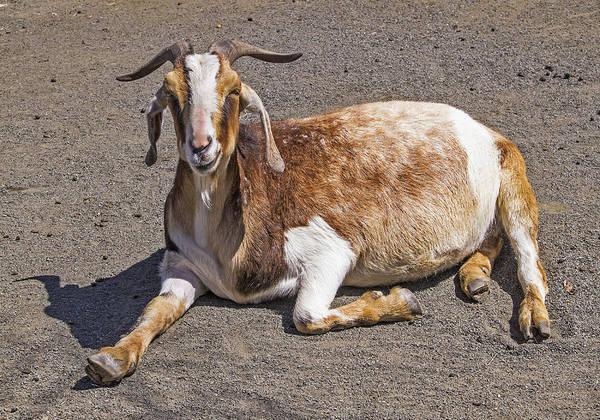 Photograph - Got My Goat by Bob Slitzan