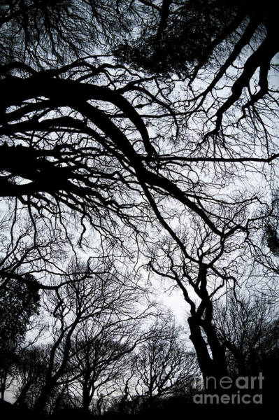 Photograph - Gothic Trees 2 by Keith Morris