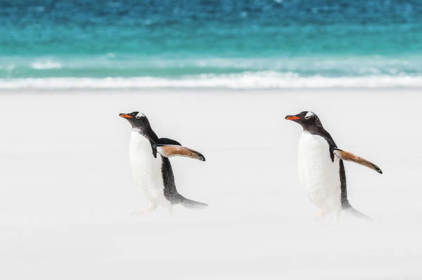 Photograph - Gentoo Penguins Caught In A Sand Storm. by Usha Peddamatham
