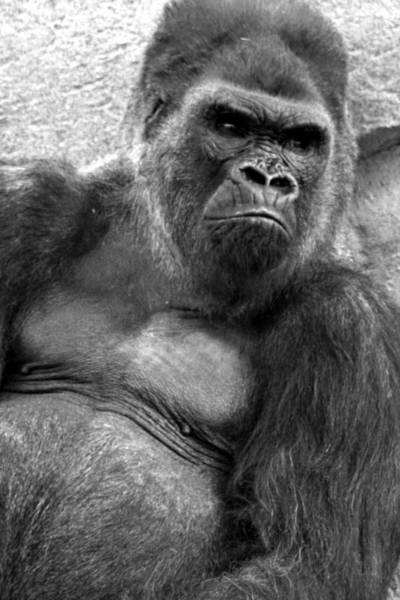 Photograph - Gq Silverback Gorilla by Brad Scott