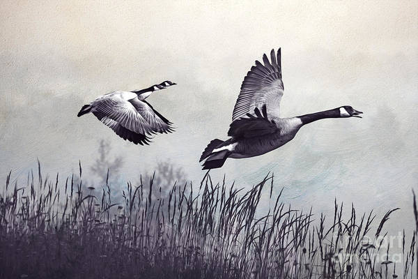 Migrate Photograph - Graceful Geese by Laura D Young
