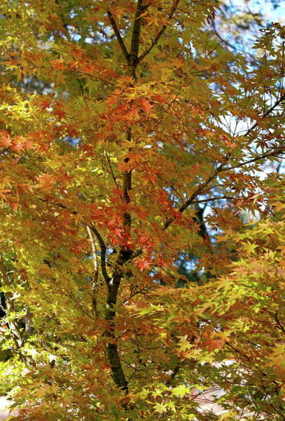 Photograph - Graceful Golden Maple by Michele Myers