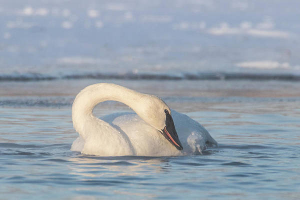 Photograph - Graceful Trumpeter Swan Neck by Patti Deters