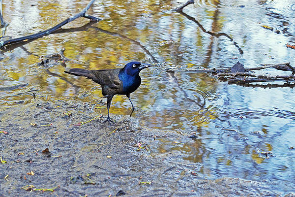 Brown-headed Cowbird Photograph - Grackle Attitude by Asbed Iskedjian