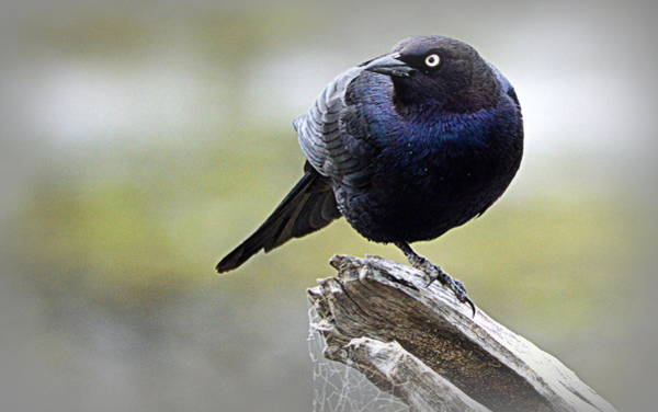 Photograph - Grackle Resting by AJ Schibig