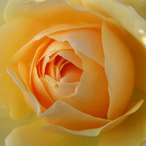 Photograph - Graham Thomas Old Fashioned Rose by Jocelyn Friis
