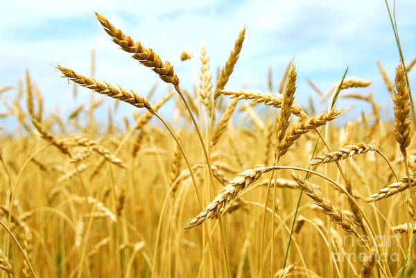 Field Photograph - Grain Field by Elena Elisseeva