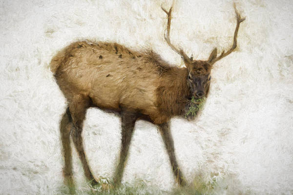 Photograph - Grand Canyon Elk No. 2 Wintered by Belinda Greb