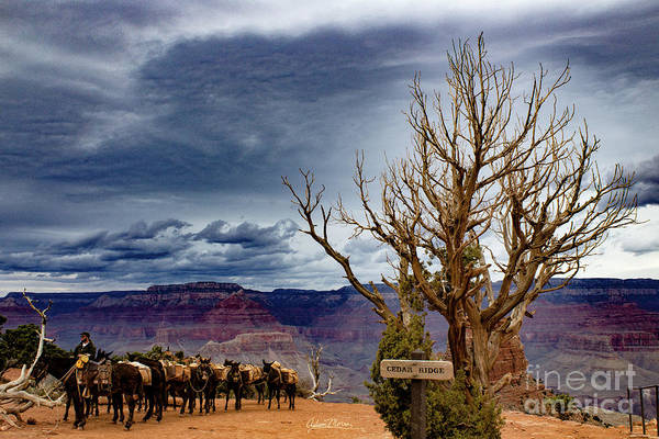 Photograph - Grand Canyon Mule Train by Adam Morsa
