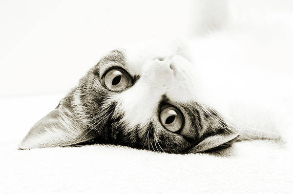 Photograph - Grand Kitty Cuteness Bw by Andee Design