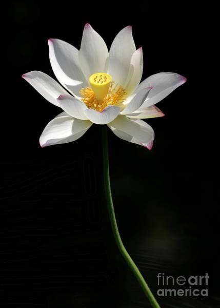Photograph - Grand Lotus by Sabrina L Ryan
