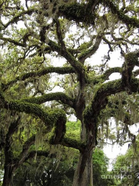 Photograph - Grand Old Oak Tree by D Hackett