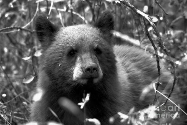 Photograph - Grand Teton Black Bear Cub Black And White by Adam Jewell