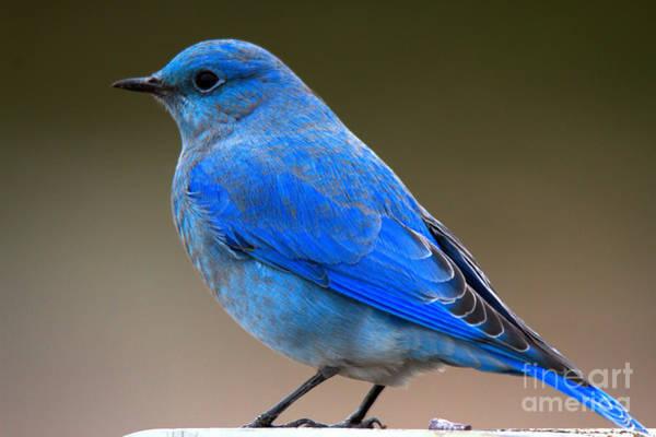 Photograph - Grand Teton Bluebird Closeup by Adam Jewell