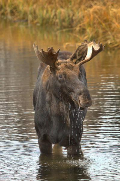 Drool Photograph - Grand Teton Drooling Moose by Adam Jewell