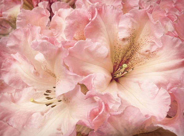 Wall Art - Photograph - Grandeur Rhododendron Flowers by Jennie Marie Schell