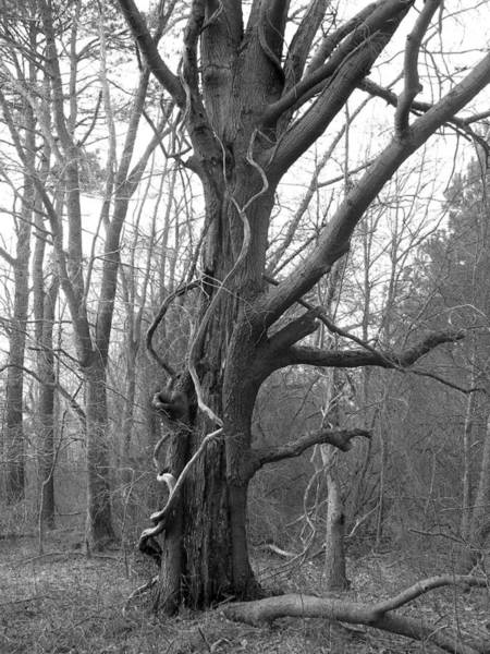 Wall Art - Photograph - Grandfather Tree by J L  Gould
