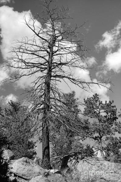 Photograph - Grandfather Tree by Pete Hellmann