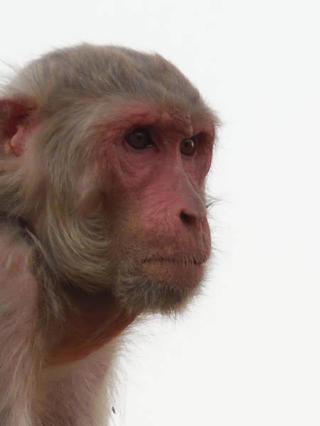Wall Art - Photograph - Grandmother Monkey. by Kamala Sharma