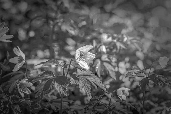 Photograph - Granny's-nightcap Bw by Leif Sohlman