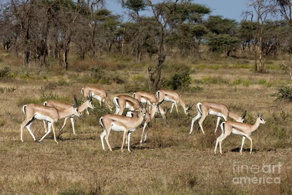 Photograph - Grants Gazelles by Chris Scroggins