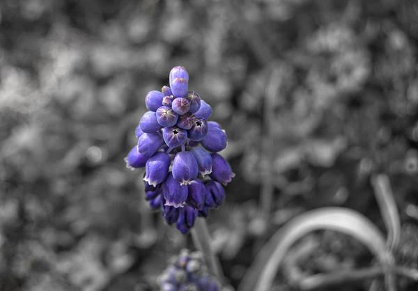 Photograph - Grape Hyacinth by Amber Flowers
