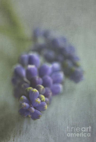 Wall Art - Photograph - Grape Hyacinth by Elena Nosyreva
