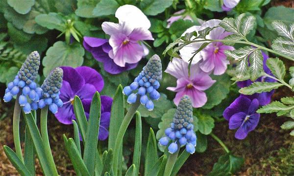 Photograph - Grape Hyacinth by Janis Nussbaum Senungetuk