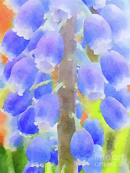 Photograph - Grape Hyacinths 1 by Chris Scroggins