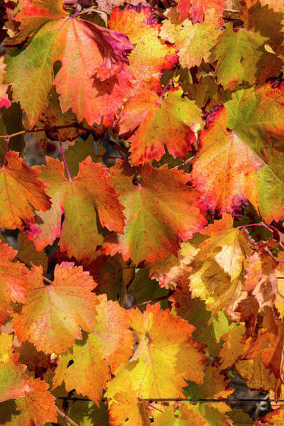 Photograph - Grape Leaf by Edgar Laureano