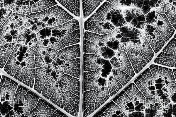 Grape Leaves Photograph - Grape Leaf Monochrome by Tim Gainey
