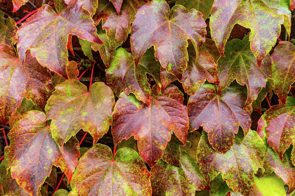 Photograph - Grape Leaves by SR Green