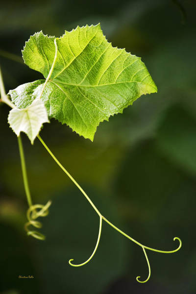 Photograph - Grape Vine by Christina Rollo