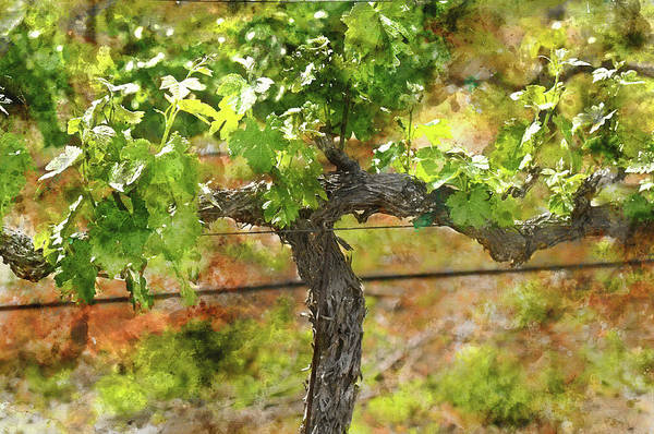 Photograph - Grape Vine In Spring Napa by Brandon Bourdages