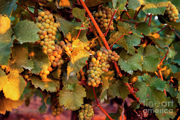 Photograph - Grapes by Ariadna De Raadt